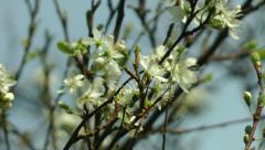 Damson Tree Blossom against a clear blue sky in spring Stock Footage