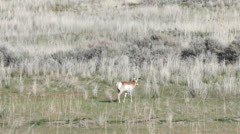 Antelope Stock Footage