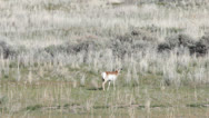 Stock Video Footage of Antelope