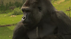 BIG Gorilla Shelling and eating NUTS! Healthy Eating! - stock footage