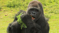 HUGE Gorilla has healthy SNACK Eat your GREENS! Stock Footage