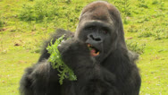 Stock Video Footage of Eat your GREENS! Gorilla has healthy SNACK