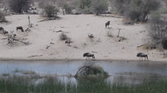 Wildebeest along a river bank. Stock Footage