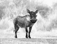 black and white picture of alert warthog - stock photo