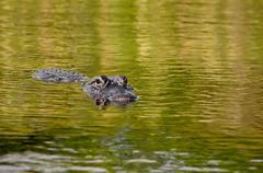 american alligator - stock photo
