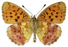 Isolated Marbled Fritillary butterfly - stock photo