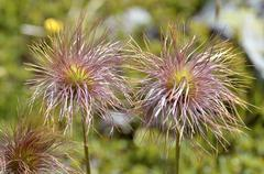 Achenes on the Fruit of pasqueflowers - stock photo