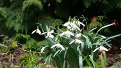 Galanthus Stock Footage