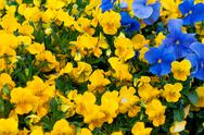 Stock Photo of pansy flowers