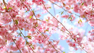 Stock Video Footage of Cherry blossom.