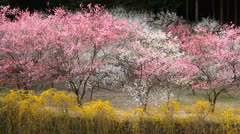 Peach orchard in spring. - stock footage
