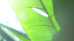 Tropical bannana tree lense flare banana 2 Stock Footage