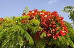 Flamboyant tree blooming - stock photo