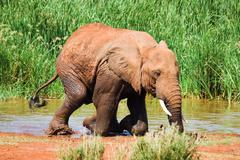 elephant gets out of water and kneels down. - stock photo