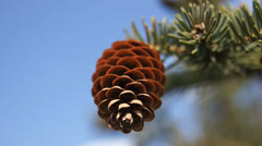 Fir-cone against blue sky (close up) Stock Footage