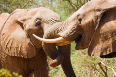 Stock Photo of young elephants fight