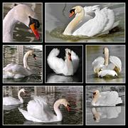 Multiple photos mosaic of mute swans Stock Photos