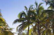 Stock Photo of coconut palms