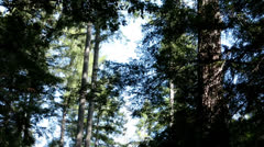Redwood forest from historic train horn sounds HD 6066 Stock Footage