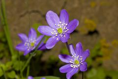 anemone hepatica nobillis, blue liverwort - stock photo