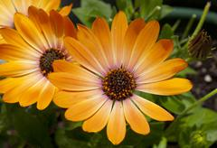 orange daisies - stock photo