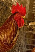 red rooster portrait - stock photo
