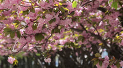 Cherry Blossoms flower falling - stock footage