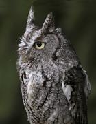 Eastern Screech Owl Close-Up - stock photo