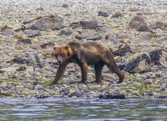 grizzly bear walking on a sea shore in glacier bay national park, alaska - stock photo