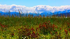 Stock Photo of whild flowers in glacier bay national park, alaska