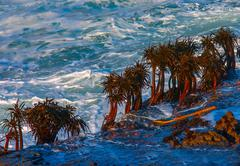 Sea palms on rocks in surf impact zone Stock Photos