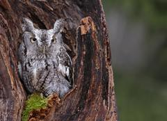 Screech Owl Looking from Stump - stock photo