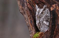 Sleepy Screech Owl - stock photo