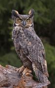 Great Horned Owl Look Stock Photos