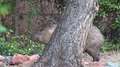 Javalina hides behind tree Stock Footage