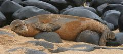 Rare Hawaiian Monk Seal - stock photo