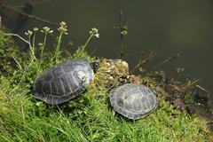two turtles near waterside - stock photo