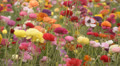Flower Fields Dolly LM03 Persian Buttercup Pink Red White Yellow Purple Footage
