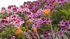 Flower Fields Dolly LM07 Dolly L Purple Pink Orange Stock Footage
