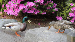 A Pair of Ducks Feeding by a Flowering Azalea Plant in Spring Season 1080p Stock Footage