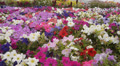 Flower Fields Dolly LM11 Dolly R Purple White Pink HD Footage