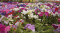 Flower Fields Dolly LM12 Dolly L Purple White Pink Footage