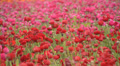 Flower Fields LM02 Persian Buttercup Pink Red HD Footage