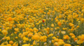 Flower Fields LM04 Persian Buttercup Yellow Footage