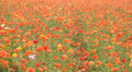 Flower Fields LM05 Persian Buttercup Orange HD Footage