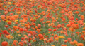 Flower Fields LM06 Persian Buttercup Orange Footage