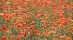 Flower Fields LM06 Persian Buttercup Orange Stock Footage