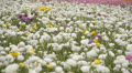 Flower Fields LM07 Persian Buttercup White Purple HD Footage