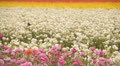 Flower Fields LM08 Persian Buttercup White Pink Yellow HD Footage