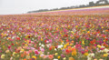 Flower Fields LM10 Persian Buttercup Pink Yellow Purple White HD Footage